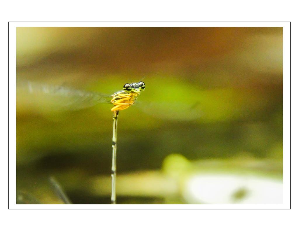 Damsel…..(fly)… in love