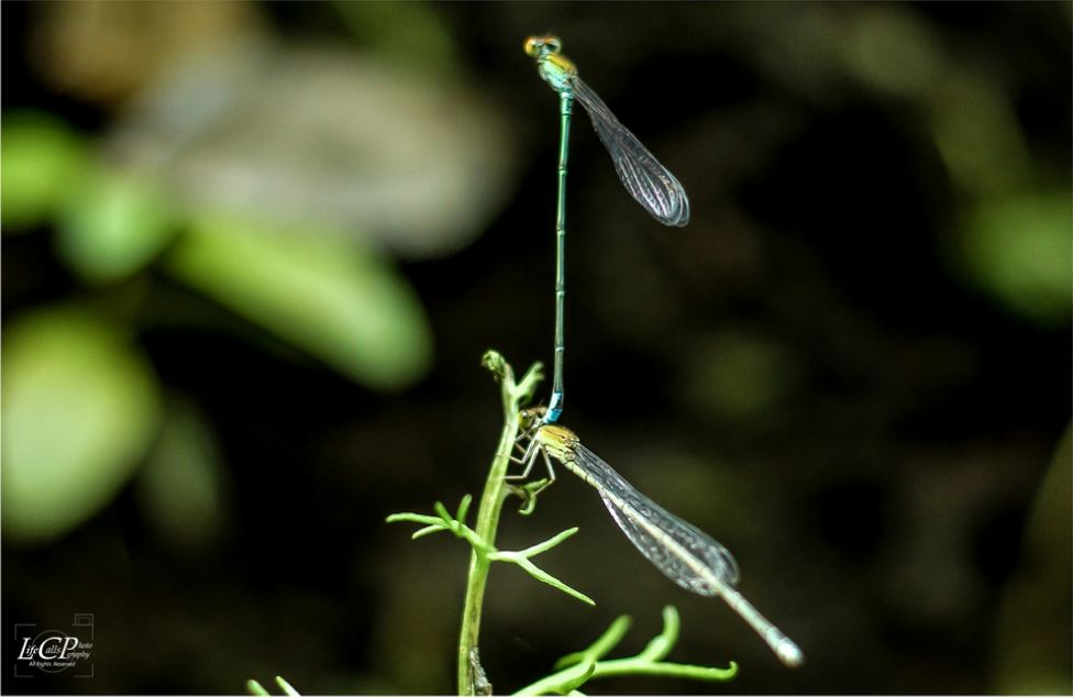 Damsel…..(fly)… in love